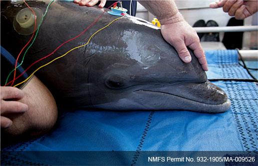 dolphin undergoing exam