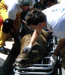 sea lion on a crash cart