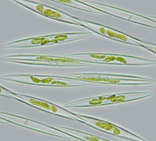 microscopic alga
