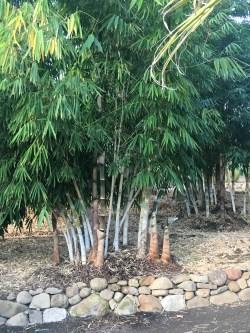 Small Of Golden Goddess Bamboo