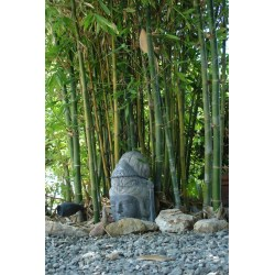 Small Crop Of Buddha Belly Bamboo
