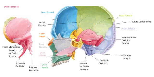 ossocranio1