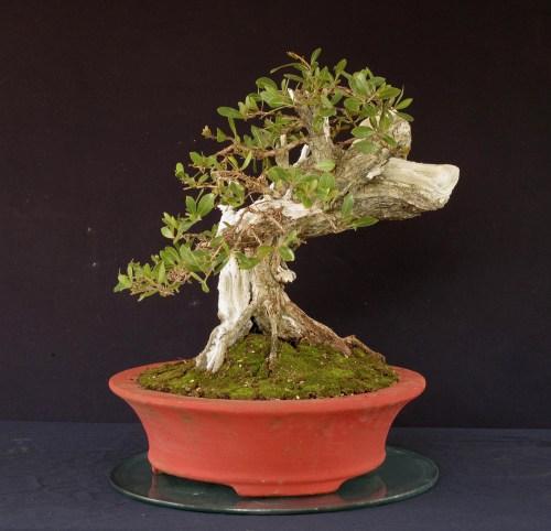 front-conocarpus-500x482