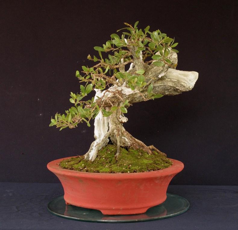 front conocarpus
