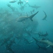 Count the sharks and more
