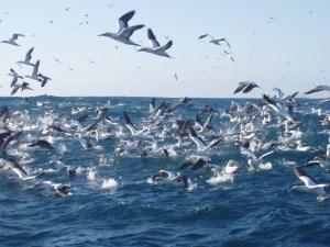 Cape gannet excitement