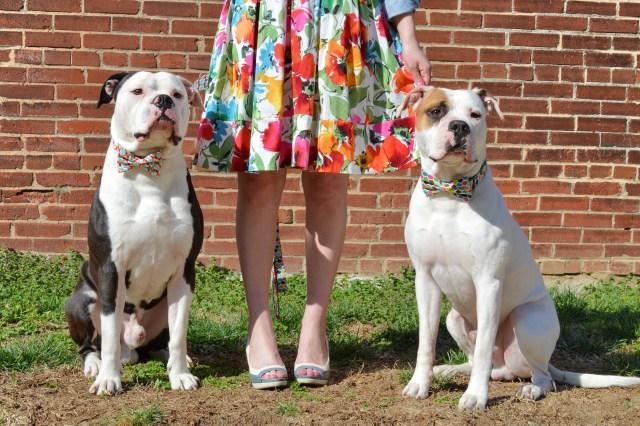 Bulldogs in Bowties photo shoot plus Floral Dress ed (137)