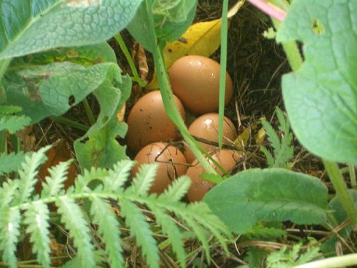 Organic Eggs laid by Free Range Chicken