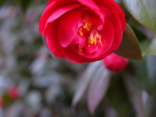Red Camelia Bush 500x375 {happy monday}