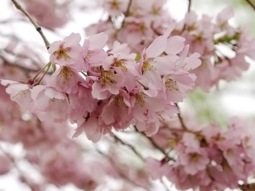 DC Cherry Blossoms14 500x375 {today I love...}