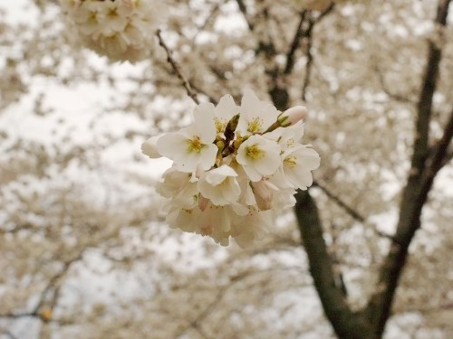 DC Cherry Blossoms4 500x375 {today I love...}
