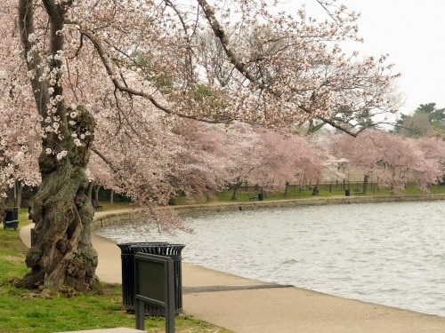 DC Cherry Blossoms7 500x375 {today I love...}