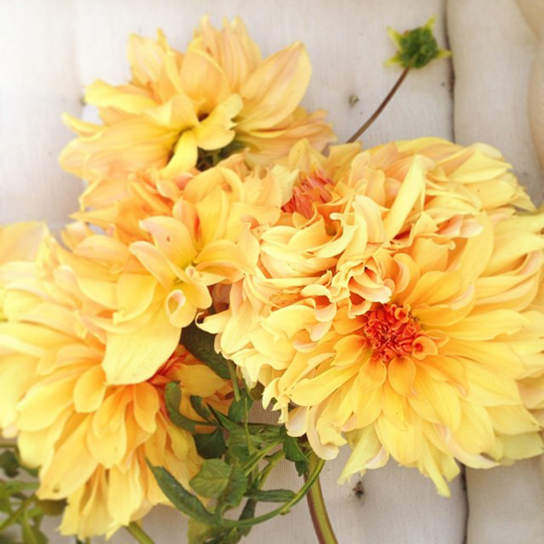 OSBP Fall Dahlias {happy weekend!}