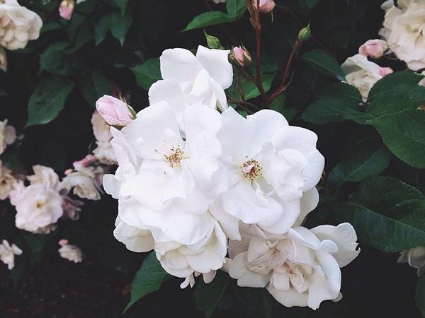 OSBP White Roses Instagram Memorial Day