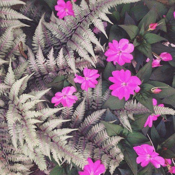 OSBP At Home Garden Update Japanese Painted Fern Instagram OSBP At Home: Garden Update