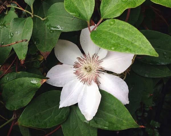 OSBP Clematis Flower Instagram Happy Weekend!