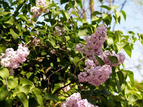 6a00e554ee8a22883301347fdc0b66970c 500wi Lilacs + Dogwoods