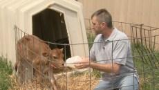 Feed Calf