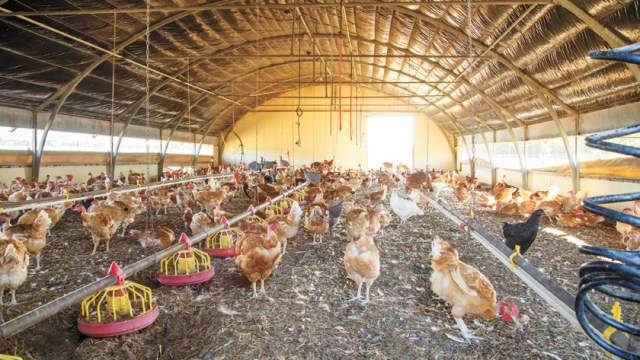 closeup on organic chicken breeding in their shelters
