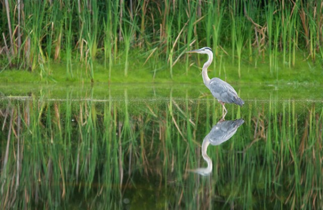 The OKC Zoo and The Nature Conservancy are working together to preserve Oklahoma habitats and wildlife, including Great Blue Herons. (Mike Fuhr / The Nature Conservancy / provided)