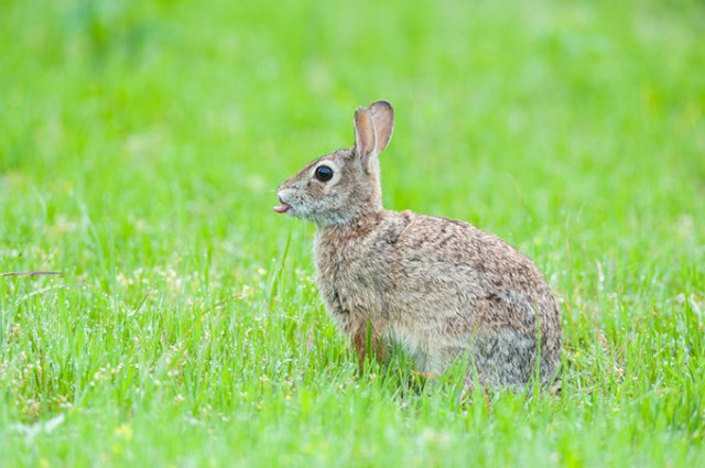 Oklahoma preserves protect habitats and wildlife, including cottontail rabbits. (Steven Hunter / The Nature Conservancy / provided)