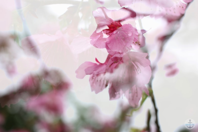 本部町八重岳の桜まつり2015
