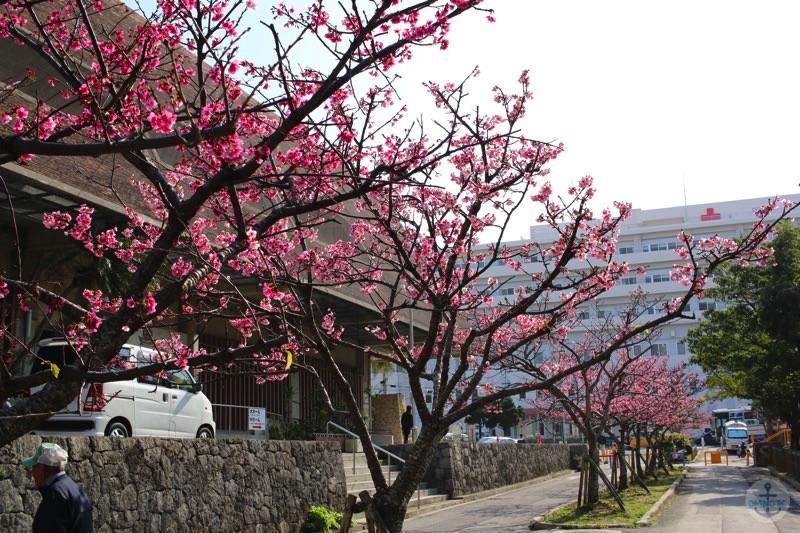 那覇市与儀公園の桜 in 2015