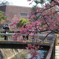 桜祭り前日の那覇市与儀公園の桜 in 2015