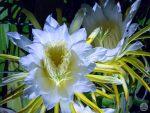 満月の夜に咲く神秘的な花。大輪を咲かせる南国果物『ドラゴンフルーツ』