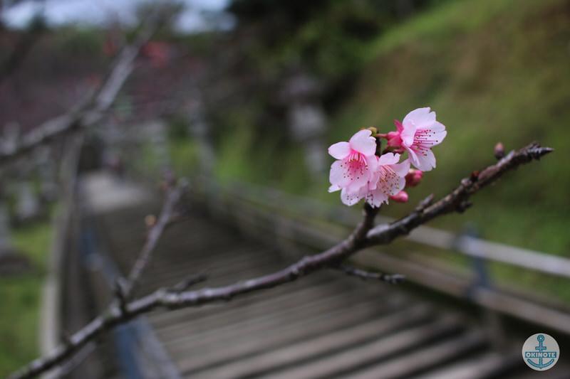 名護中央公園2016 桜まつりの様子