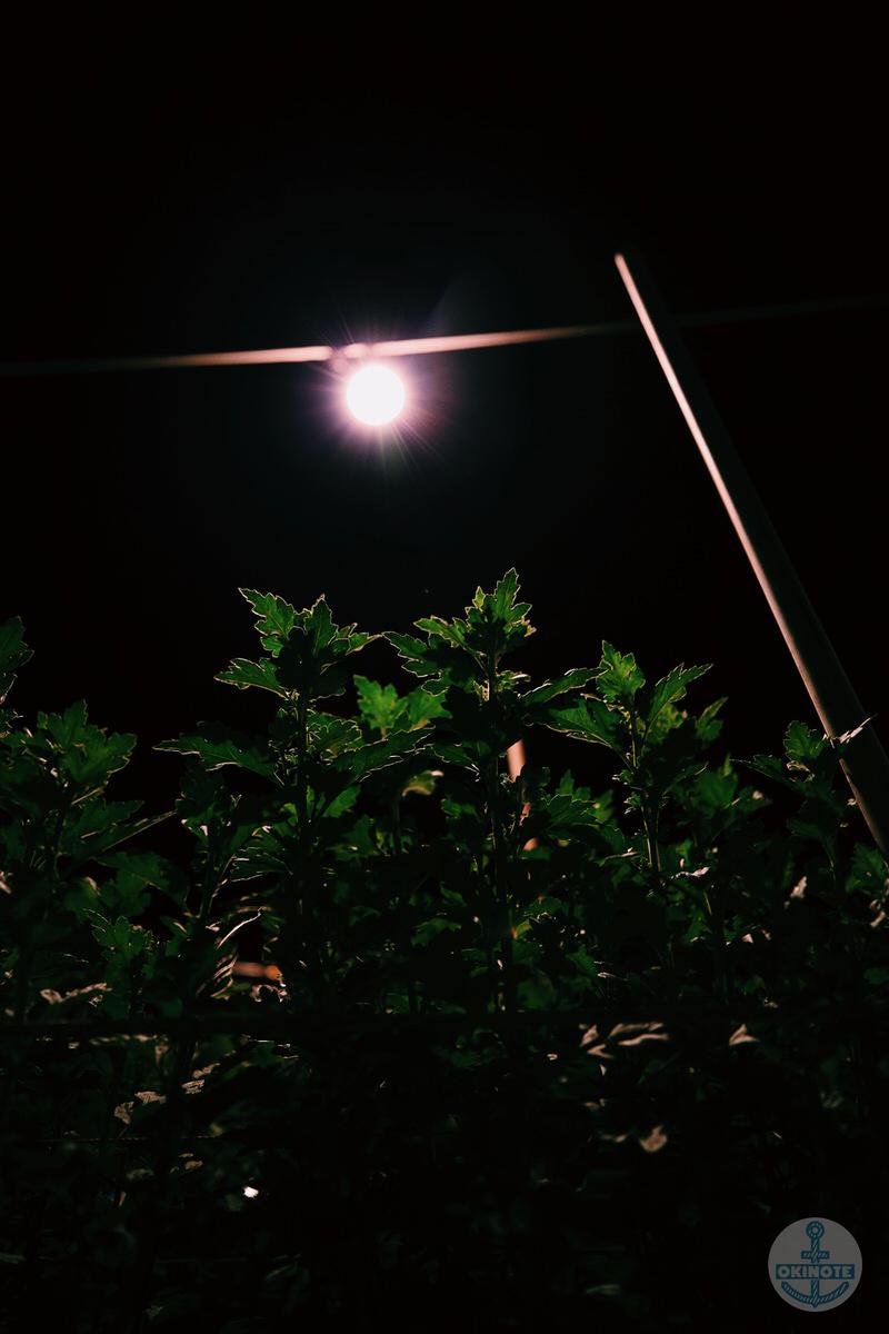 糸満の電照菊