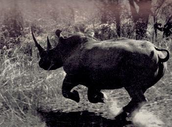 Riled up Rhinos