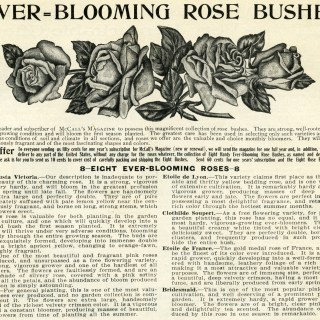 Ever-Blooming Roses Vintage Ad