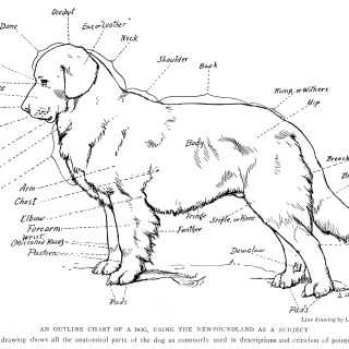 Anatomical Chart of a Dog Free Illustration