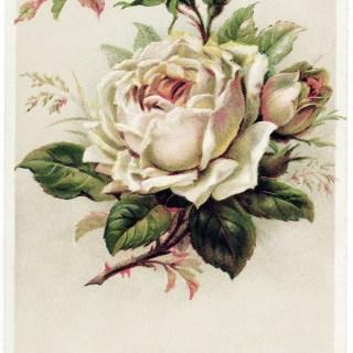 Beautiful Rose German Greeting Postcard