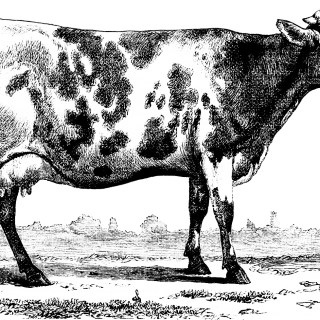 Vintage Black and White Clipart Cow
