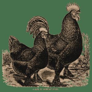 Rooster & hen ~ lilac-n-lavender
