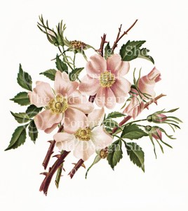 flowers from dell and bower, 1886 book, susie barstow skelding, poems illustrated, wild rose digital image, vintage floral image