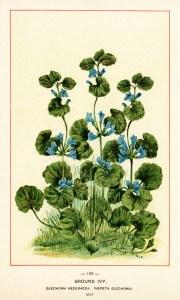 ground ivy image, botanical ivy illustration, vintage floral printable, blue flower plant, antique botanical clip art