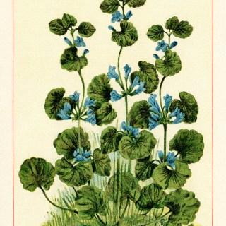 Free Vintage Image ~ Flowering Ground Ivy