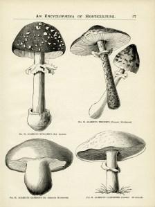 vintage botanical graphics, clip art mushroom, black and white garden clipart, mushroom illustration, old book page