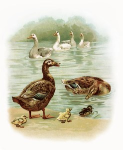 geese, duck, duckling illustration, farm animals image, antique storybook page, digital goose duck graphic, birds in water vintage clipart
