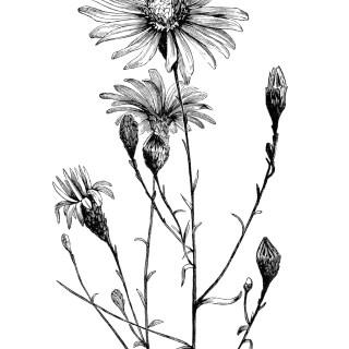 Aster Flower ~ Free Vintage Clip Art Image
