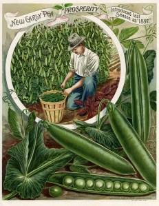 vintage garden clipart, henderson early pea, man picking peas, garden catalogue page, vegetable garden printable