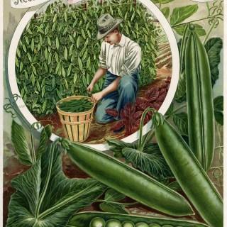 Garden Peas Henderson Catalogue Ad ~ Free Printable Vintage Image
