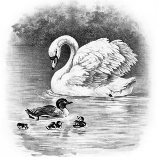 Swan, Duck, Ducklings ~ Free Vintage Clip Art
