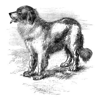 The Newfoundland Dog ~ Free Vintage Clip Art