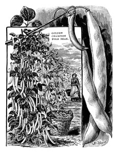 garden catalogue page, climbing beans illustration, black and white clipart, vintage garden clip art, vegetable garden image, pole beans image, beans in pod