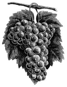 cluster grapes clipart, black and white graphics, vintage food clip art, printable fruit image, grapes branch garden illustration