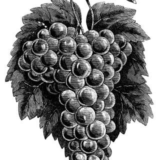 Cluster of Grapes ~ Free Vintage Clip Art Image